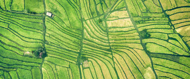 Aerial view of green rice fields.